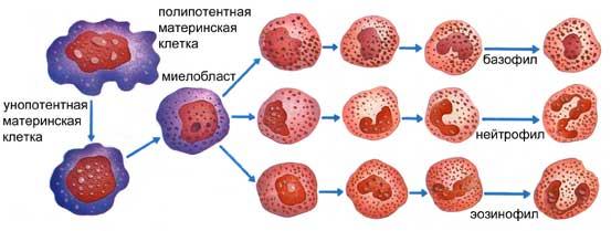 povysheny-lejkocity-v-krovi-chto-ehto-znachit-u-rebenka.jpg