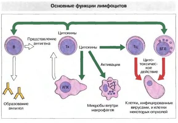 Функции лимфоцитов.jpg