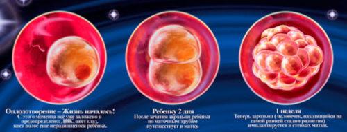 1-4 недели внутриутробного развития плода.jpg
