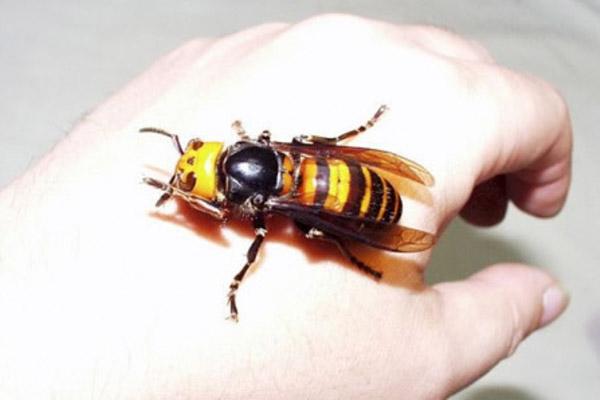 Укусила пчела - что делать в домашних условиях, первая помощь