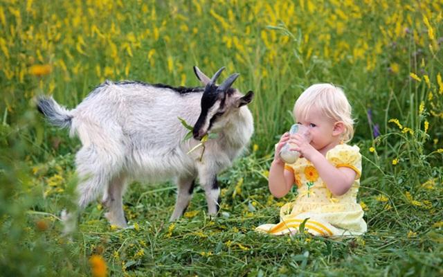 Козье молоко полезные свойства и противопоказания